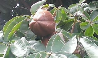 Casa de Dom Inacio Garden Cocoa Tree