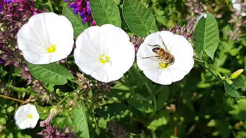 BeesWhiteFlowersEd 1920&1080.mp4