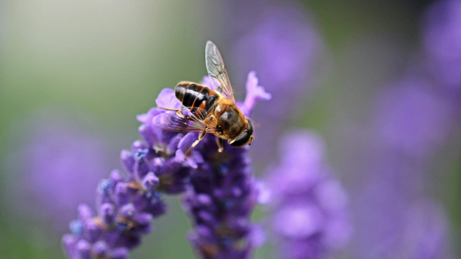 lavender-hoverfly-insect-flight-insect-1