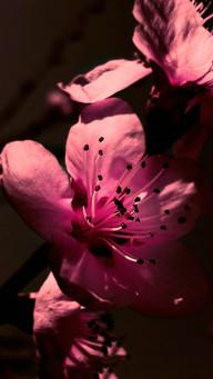 Pink Peach Blossom Contrast Dark Background