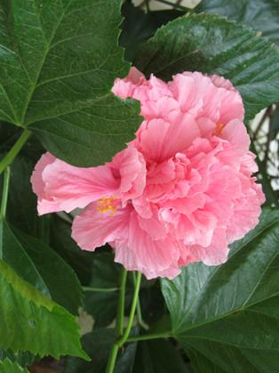 Abadjania Garden Hibiscus Pinkl Flower