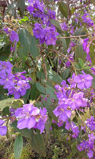 Abadjania House Garden Violet Flowers