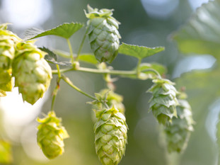 Did You Know What Are The Health Benefits Of Hops?