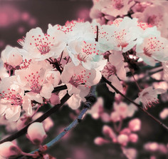 BlossomDelicatePink.jpg