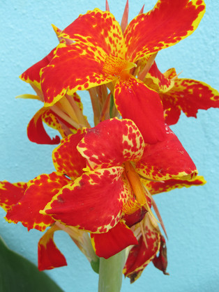 Abadjania House Garden Red Spectacular Flower Like A Lily
