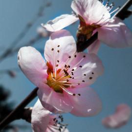 PeachBlossom 2500&2500-min.jpg