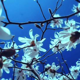 106 WhiteMagnoliaGimp.jpg