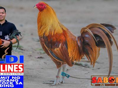 Old Broodcock sa Breeding with LDI Headlines (August 1, 2021)