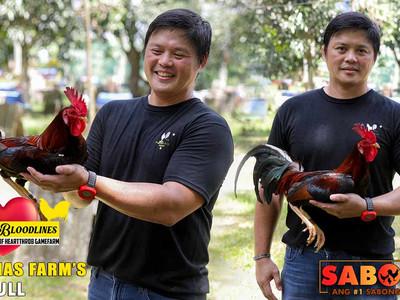 Gull Bloodline ng Buenas Dias Gamefarm with Doc Jun Cueto (April 18, 2021)
