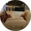 Conditioning Products for Roosters/Gamefowls in Cockfights/Sabong