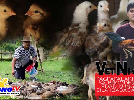 Pagpapalaki ng Sabong Sisiw sa Brooder with Doc Nilo (February 21, 2021)