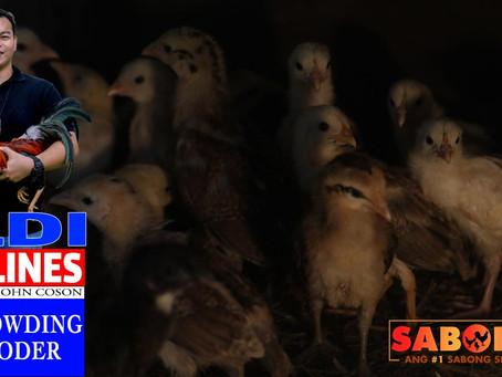 Overcrowding sa Sabong Brooder sa LDI Headlines (March 7, 2021)