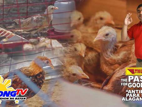 Antibiotics Para sa Manok Sabong with Thunderbird (November 29, 2020)