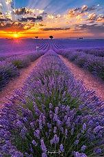 lavendar fields and sun.JPG