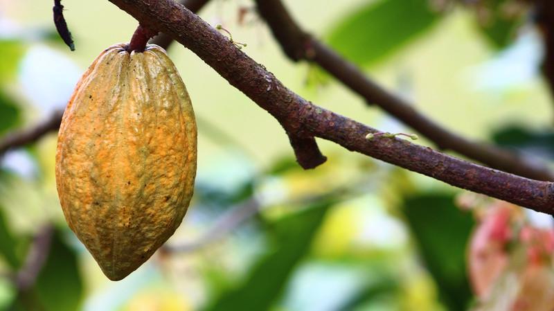 Cocoa Farm TOSK Global Ventures