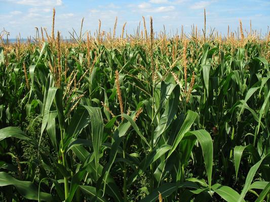 Maize - TOSK Global Ventures