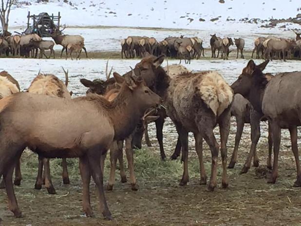 Naches Elk Feeding.jpg