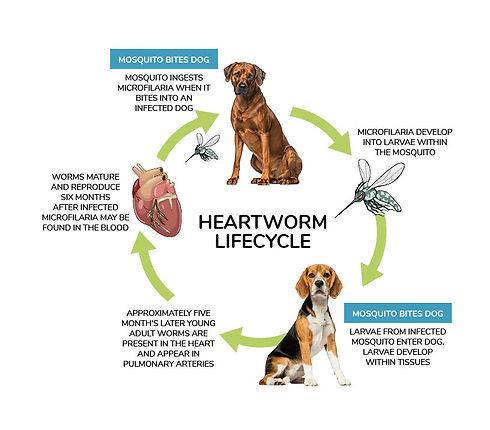 Heartworm.jpg