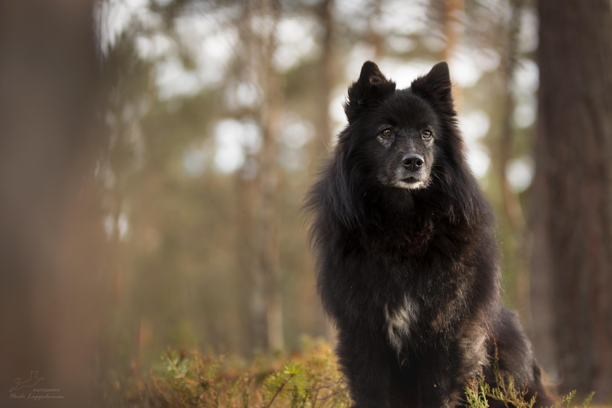 Suomenlapinkoira Saiva