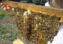 crosscomb of bees_edited.JPG