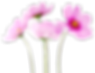 Cosmea-Flower-PNG-Image.png