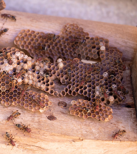 hymenoptera-wood-wasp-s-nest.jpg