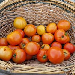 Easley Tomatoes