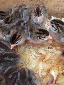 TCFS - Chicks 1