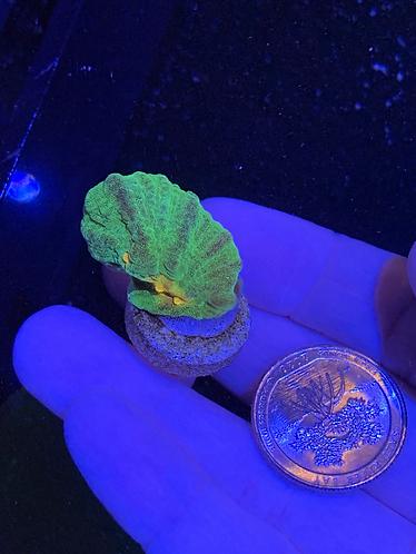 Space Invader Pectinia