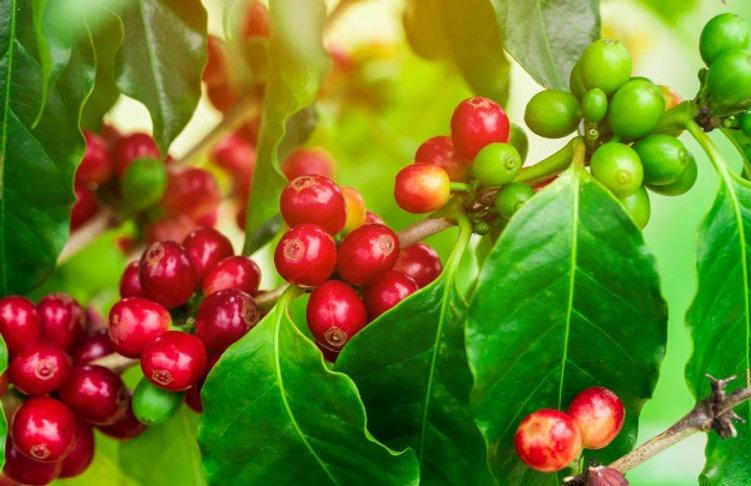 coffee-beans-ripening-tree-north-thailan