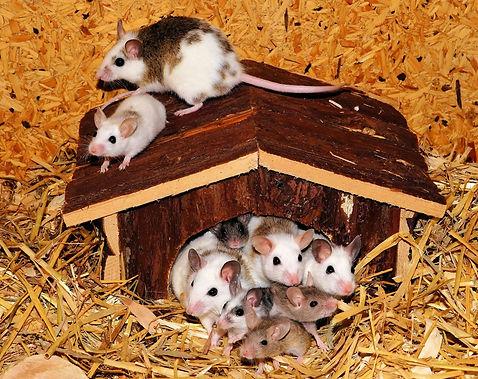 טראומות של עכברים