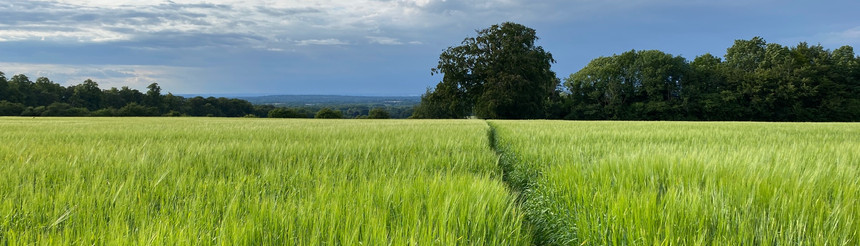 This picture was taken just outside Polesden Lacy, looking north along the line of a footpath.