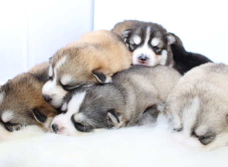 Huskies, Pomeranians, & Pomskies! What is the difference?