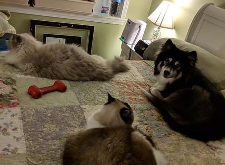 #Pomsky+Cats=Friends