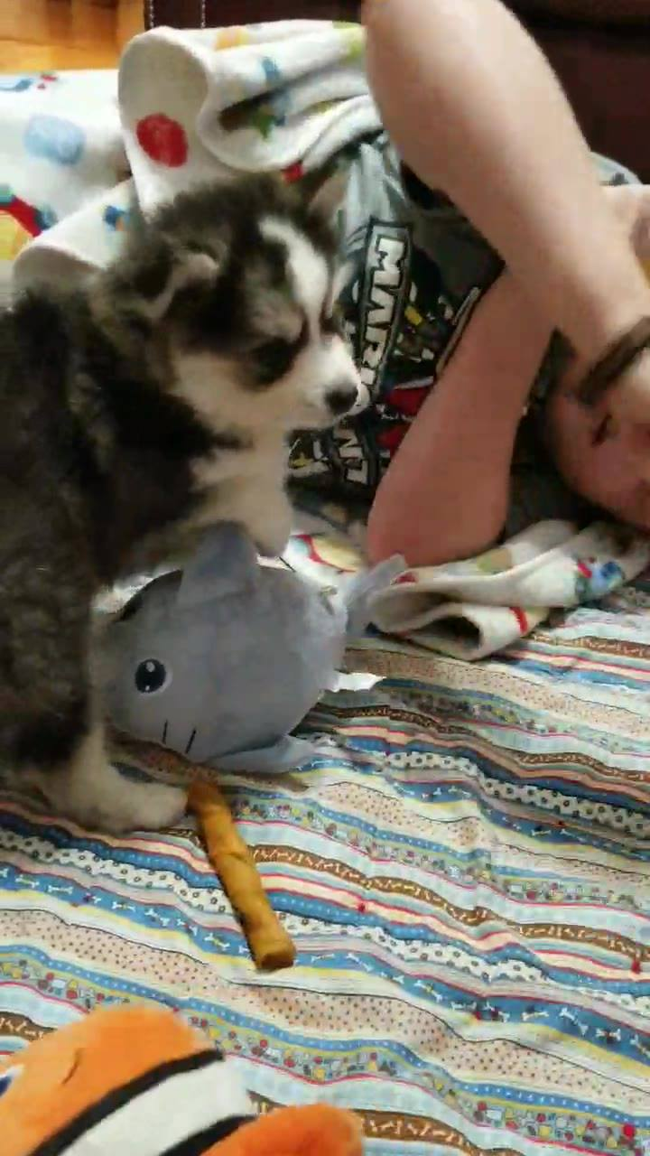 Having some one on one puppy time with Quill!!!   We do this with all of the puppies so they get some extra loving and socialization time.  It is important to begin this when they are little.    All of our puppies are socialized and loved on in our h