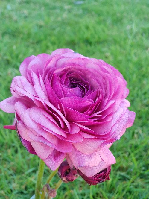 Double Ranunculus - Violetta