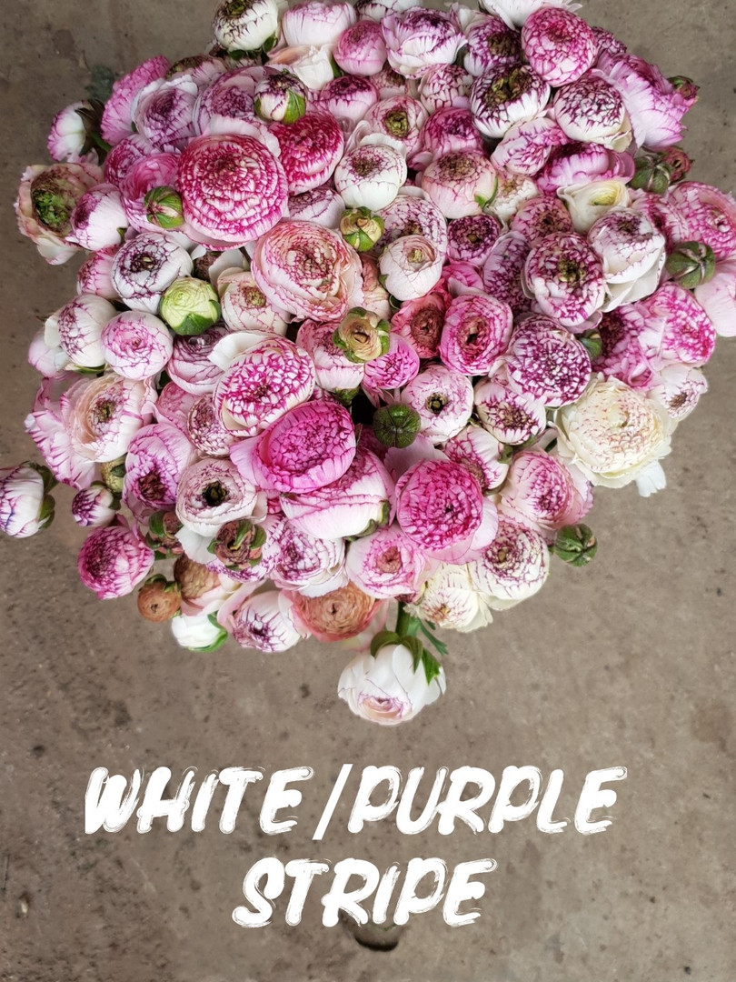 white purple stripe.jpg