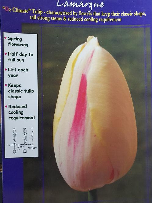 Tulip Camarque