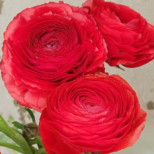 Double Ranunculus -Rosso