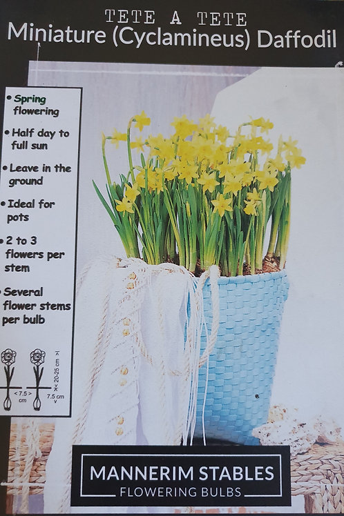 Mini Daffodil - Tete a Tete