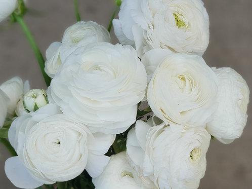 Double Ranunculus - Bianco