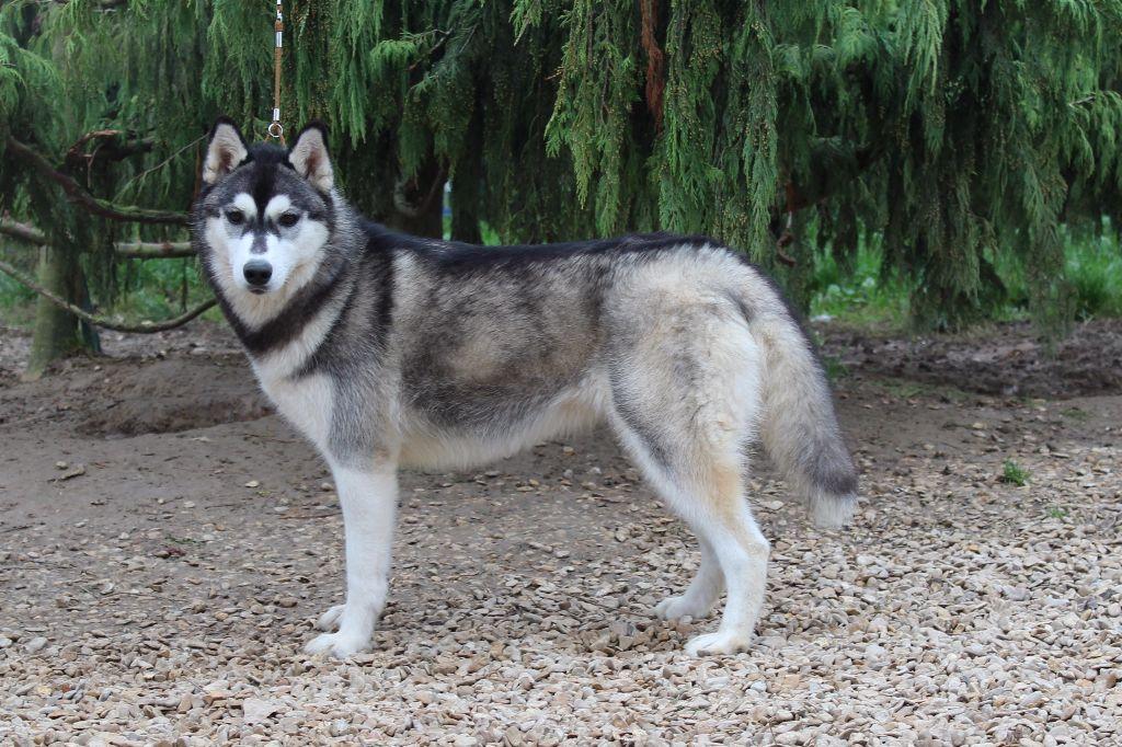 chiens-Siberian-Husky-bd9d3117-6635-3064