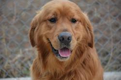 chiens-Golden-Retriever-6814cb5e-1112-a4