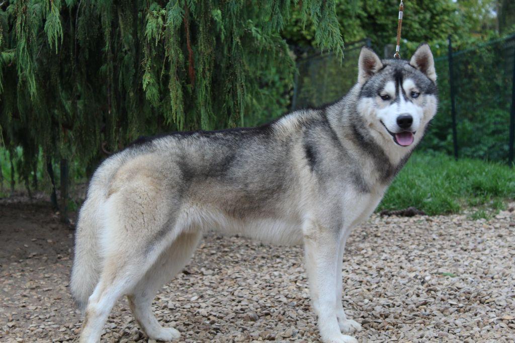 chiens-Siberian-Husky-be4709ff-0514-c064