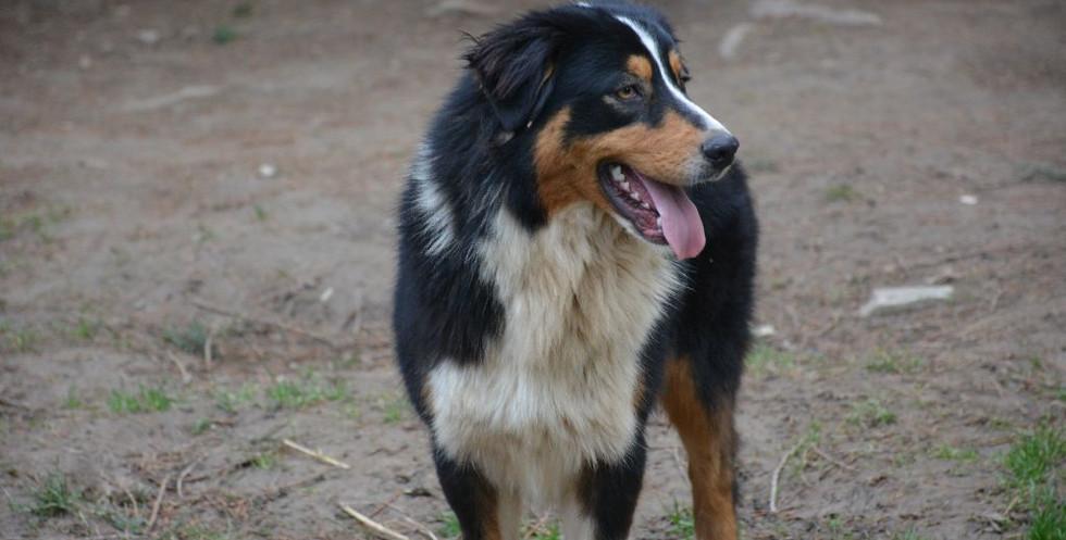 chiens-Berger-Australien-a87eb8f1-1a45-0