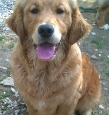 chiens-Golden-Retriever-f3089456-b070-24