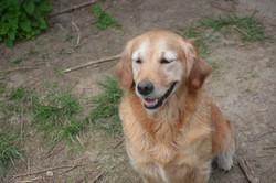 chiens-Golden-Retriever-d9bebc01-2d9e-ba