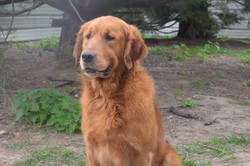 chiens-Golden-Retriever-008f1600-acc2-03