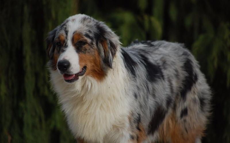 chiens-Berger-Australien-a39d70b3-3751-6