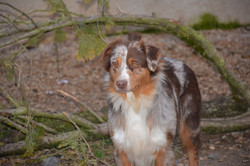 chiens-Berger-Australien-3d6cd481-a5ae-3